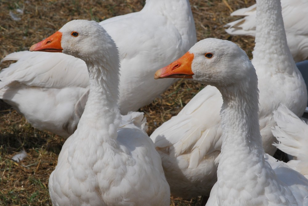 Geese in the Quercy