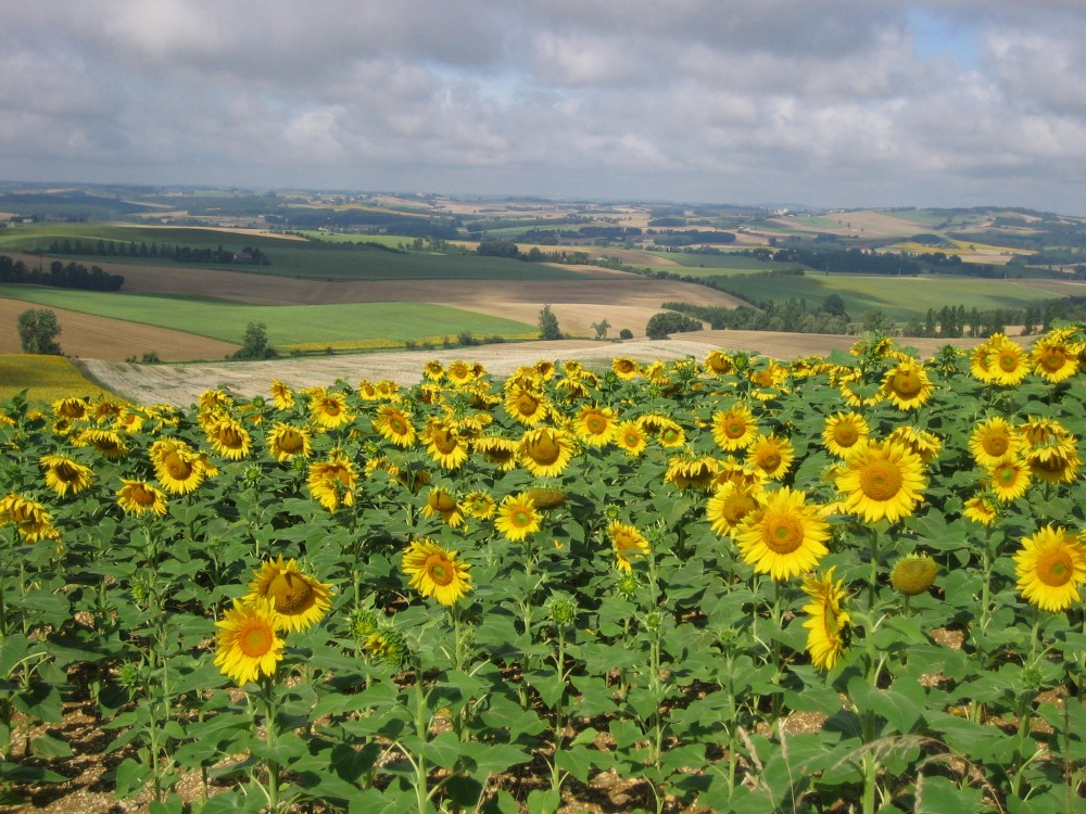 French countryside with sunflowers